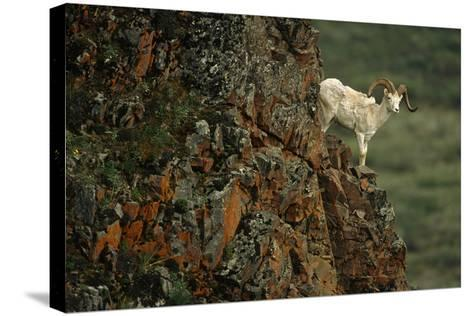 Dall Sheep Ram Perched on Rock Ledge Denali Np in Ak Summer-Design Pics Inc-Stretched Canvas Print