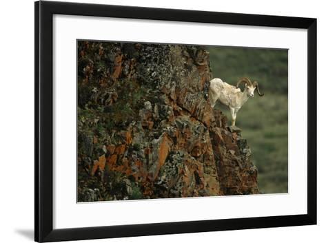 Dall Sheep Ram Perched on Rock Ledge Denali Np in Ak Summer-Design Pics Inc-Framed Art Print