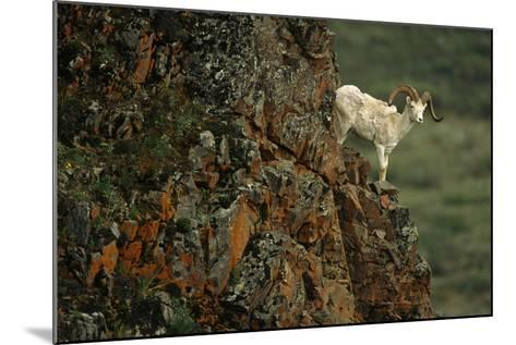 Dall Sheep Ram Perched on Rock Ledge Denali Np in Ak Summer-Design Pics Inc-Mounted Photographic Print