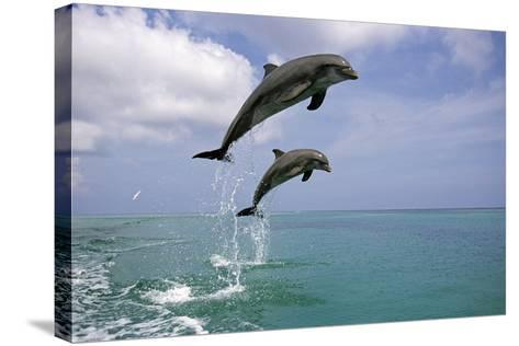 Pair of Bottle Nose Dolphins Jumping Roatan Honduras Summer-Design Pics Inc-Stretched Canvas Print