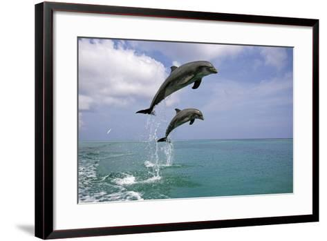 Pair of Bottle Nose Dolphins Jumping Roatan Honduras Summer-Design Pics Inc-Framed Art Print