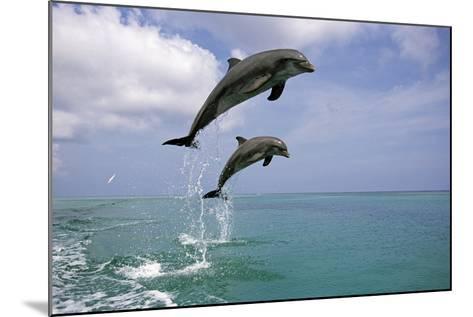 Pair of Bottle Nose Dolphins Jumping Roatan Honduras Summer-Design Pics Inc-Mounted Photographic Print