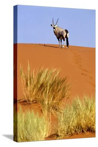 Ram on Sand Dune in Sossusvlei-Design Pics Inc-Stretched Canvas Print