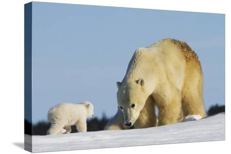 Mother Polar Bear (Ursus Maritimus) Playing with Her Cub in Wapusk National Park; Churchill-Design Pics Inc-Stretched Canvas Print