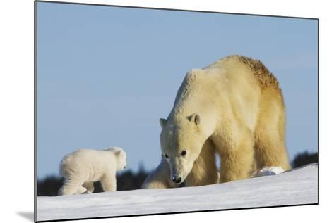 Mother Polar Bear (Ursus Maritimus) Playing with Her Cub in Wapusk National Park; Churchill-Design Pics Inc-Mounted Photographic Print