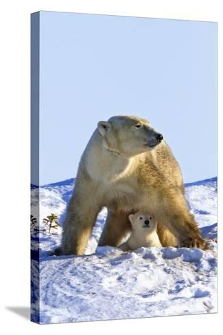 A Mother Polar Bear (Ursus Maritimus) with Her Cub in Wapusk National Park; Churchill-Design Pics Inc-Stretched Canvas Print