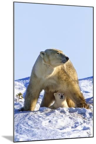 A Mother Polar Bear (Ursus Maritimus) with Her Cub in Wapusk National Park; Churchill-Design Pics Inc-Mounted Photographic Print