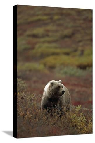 Grizzly on Autumn Tundra Highway Pass Denali Np Ak In-Design Pics Inc-Stretched Canvas Print