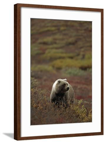 Grizzly on Autumn Tundra Highway Pass Denali Np Ak In-Design Pics Inc-Framed Art Print