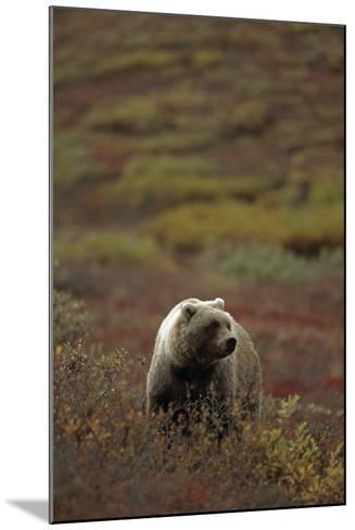 Grizzly on Autumn Tundra Highway Pass Denali Np Ak In-Design Pics Inc-Mounted Photographic Print