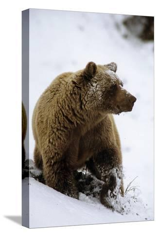 Grizzly Standing in Snow Denali Np in Alaska Autumn-Design Pics Inc-Stretched Canvas Print