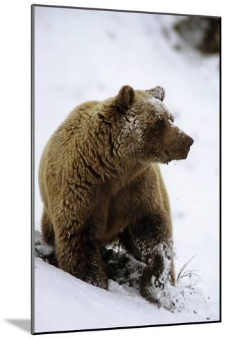 Grizzly Standing in Snow Denali Np in Alaska Autumn-Design Pics Inc-Mounted Photographic Print