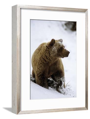 Grizzly Standing in Snow Denali Np in Alaska Autumn-Design Pics Inc-Framed Art Print