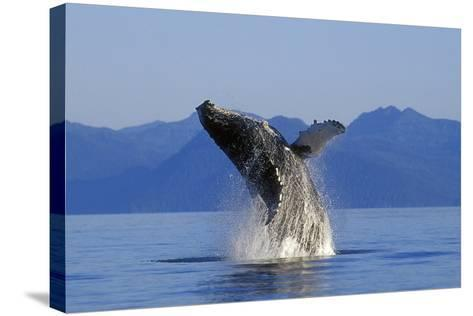 Humpback Whale Breaching in Inside Passage Se Ak Summer-Design Pics Inc-Stretched Canvas Print