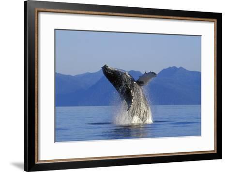 Humpback Whale Breaching in Inside Passage Se Ak Summer-Design Pics Inc-Framed Art Print