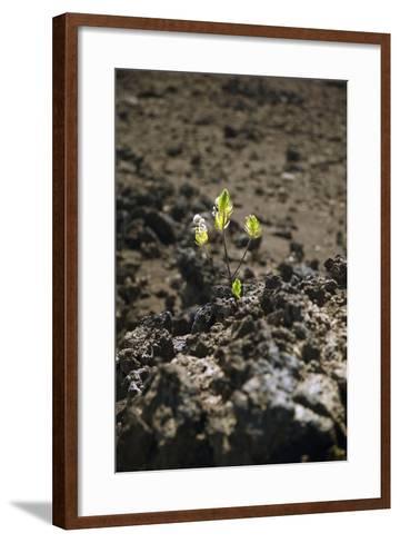 Hawaii, Maui, Haleakala, New Life Grows Among Lava Rock-Design Pics Inc-Framed Art Print