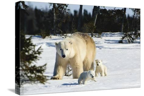 Polar Bear (Ursus Maritimus) Sow and Cubs Walking in Wapusk National Park; Churchill-Design Pics Inc-Stretched Canvas Print