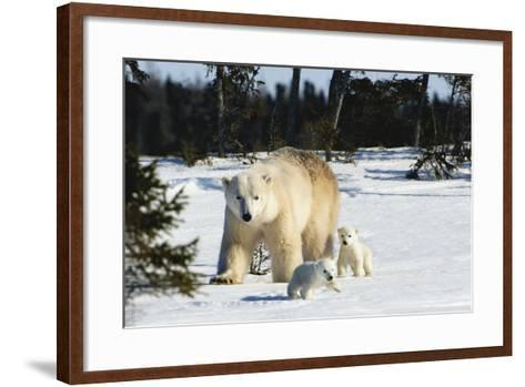 Polar Bear (Ursus Maritimus) Sow and Cubs Walking in Wapusk National Park; Churchill-Design Pics Inc-Framed Art Print