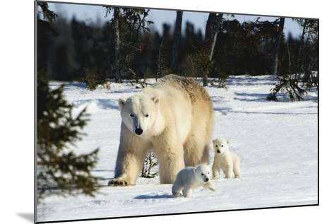 Polar Bear (Ursus Maritimus) Sow and Cubs Walking in Wapusk National Park; Churchill-Design Pics Inc-Mounted Photographic Print