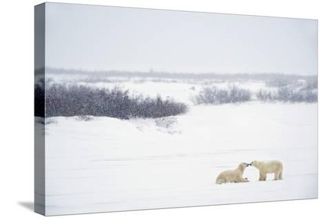 Two Polar Bears (Ursus Maritimus) Showing Affection by Kissing Each Other; Churchill-Design Pics Inc-Stretched Canvas Print