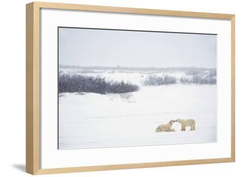 Two Polar Bears (Ursus Maritimus) Showing Affection by Kissing Each Other; Churchill-Design Pics Inc-Framed Art Print