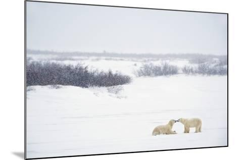 Two Polar Bears (Ursus Maritimus) Showing Affection by Kissing Each Other; Churchill-Design Pics Inc-Mounted Photographic Print
