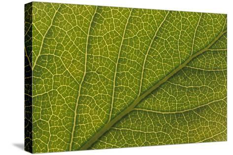 Studio Closeup Green Cottonwood Leaf Pattern-Design Pics Inc-Stretched Canvas Print