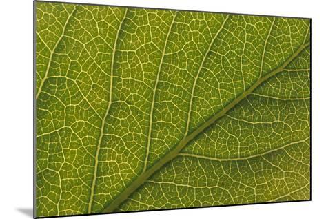 Studio Closeup Green Cottonwood Leaf Pattern-Design Pics Inc-Mounted Photographic Print
