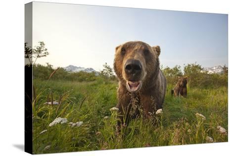 Captive Grizzlies at the Alaska Wildlife Conservation Center Near-Design Pics Inc-Stretched Canvas Print