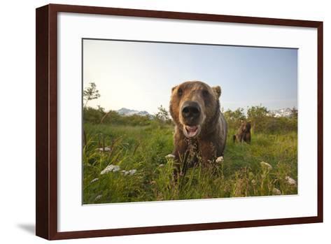 Captive Grizzlies at the Alaska Wildlife Conservation Center Near-Design Pics Inc-Framed Art Print