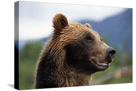 Closeup of Brown Bears Head and Face Captive Alaska Wildlife Conservation Center-Design Pics Inc-Stretched Canvas Print
