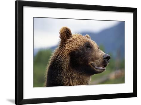 Closeup of Brown Bears Head and Face Captive Alaska Wildlife Conservation Center-Design Pics Inc-Framed Art Print