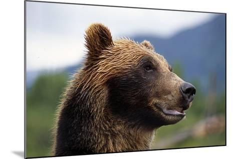 Closeup of Brown Bears Head and Face Captive Alaska Wildlife Conservation Center-Design Pics Inc-Mounted Photographic Print