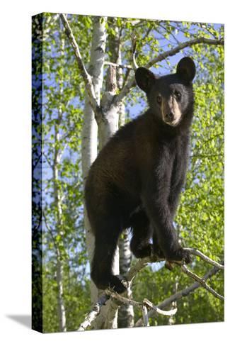 Black Bear Cub in Tree Minnesota Forest Captive Summer-Design Pics Inc-Stretched Canvas Print
