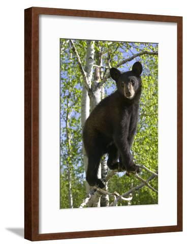Black Bear Cub in Tree Minnesota Forest Captive Summer-Design Pics Inc-Framed Art Print