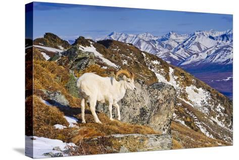 An Adult Dall Sheep Ram Standing on Mount Margrett with the Alaska Range in the Background-Design Pics Inc-Stretched Canvas Print