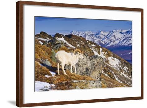 An Adult Dall Sheep Ram Standing on Mount Margrett with the Alaska Range in the Background-Design Pics Inc-Framed Art Print