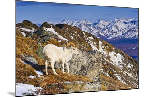 An Adult Dall Sheep Ram Standing on Mount Margrett with the Alaska Range in the Background-Design Pics Inc-Mounted Photographic Print