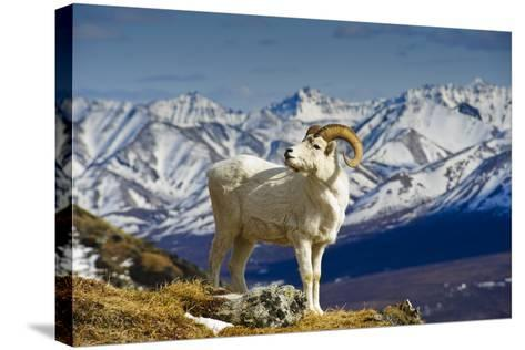 A Young Dall Sheep Ram Standing on Mount Margaret with the Alaska Range in the Background-Design Pics Inc-Stretched Canvas Print