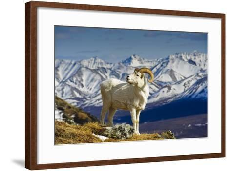 A Young Dall Sheep Ram Standing on Mount Margaret with the Alaska Range in the Background-Design Pics Inc-Framed Art Print