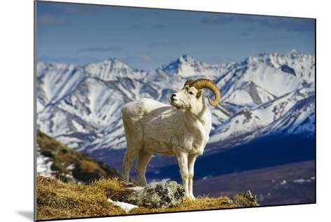 A Young Dall Sheep Ram Standing on Mount Margaret with the Alaska Range in the Background-Design Pics Inc-Mounted Photographic Print
