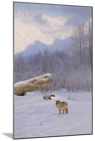 Captive: a Coyote Walks across a Frozen Pond-Design Pics Inc-Mounted Photographic Print
