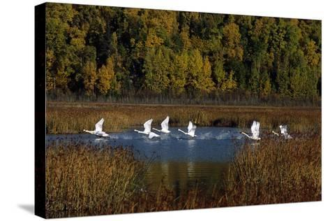 Trumpeter Swans in Flight over Potter Marsh in Southcentral, Alaska During Fall-Design Pics Inc-Stretched Canvas Print