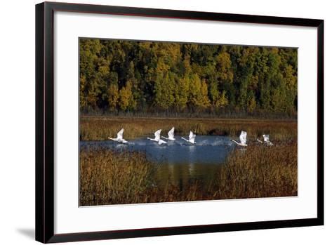 Trumpeter Swans in Flight over Potter Marsh in Southcentral, Alaska During Fall-Design Pics Inc-Framed Art Print