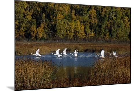 Trumpeter Swans in Flight over Potter Marsh in Southcentral, Alaska During Fall-Design Pics Inc-Mounted Photographic Print