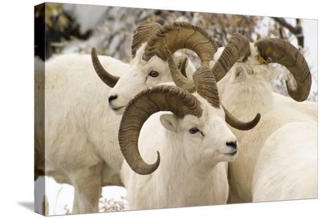 Group of Dall Sheep Denali National Park Interior Alaska Fall-Design Pics Inc-Stretched Canvas Print