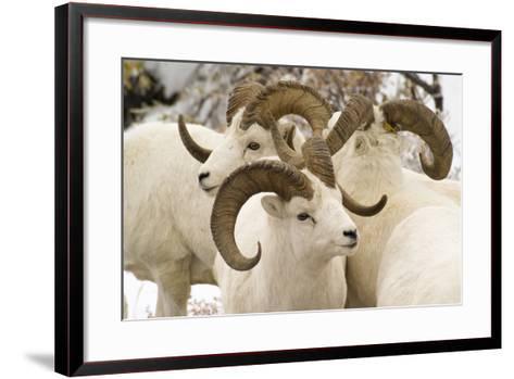 Group of Dall Sheep Denali National Park Interior Alaska Fall-Design Pics Inc-Framed Art Print