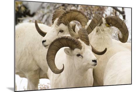 Group of Dall Sheep Denali National Park Interior Alaska Fall-Design Pics Inc-Mounted Photographic Print