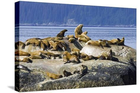 Steller Sea Lions on Haulout South Marble Island Glacier Bay National Park Southeast Alaska Summer-Design Pics Inc-Stretched Canvas Print