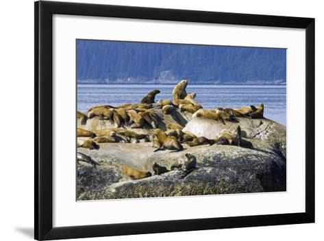 Steller Sea Lions on Haulout South Marble Island Glacier Bay National Park Southeast Alaska Summer-Design Pics Inc-Framed Art Print
